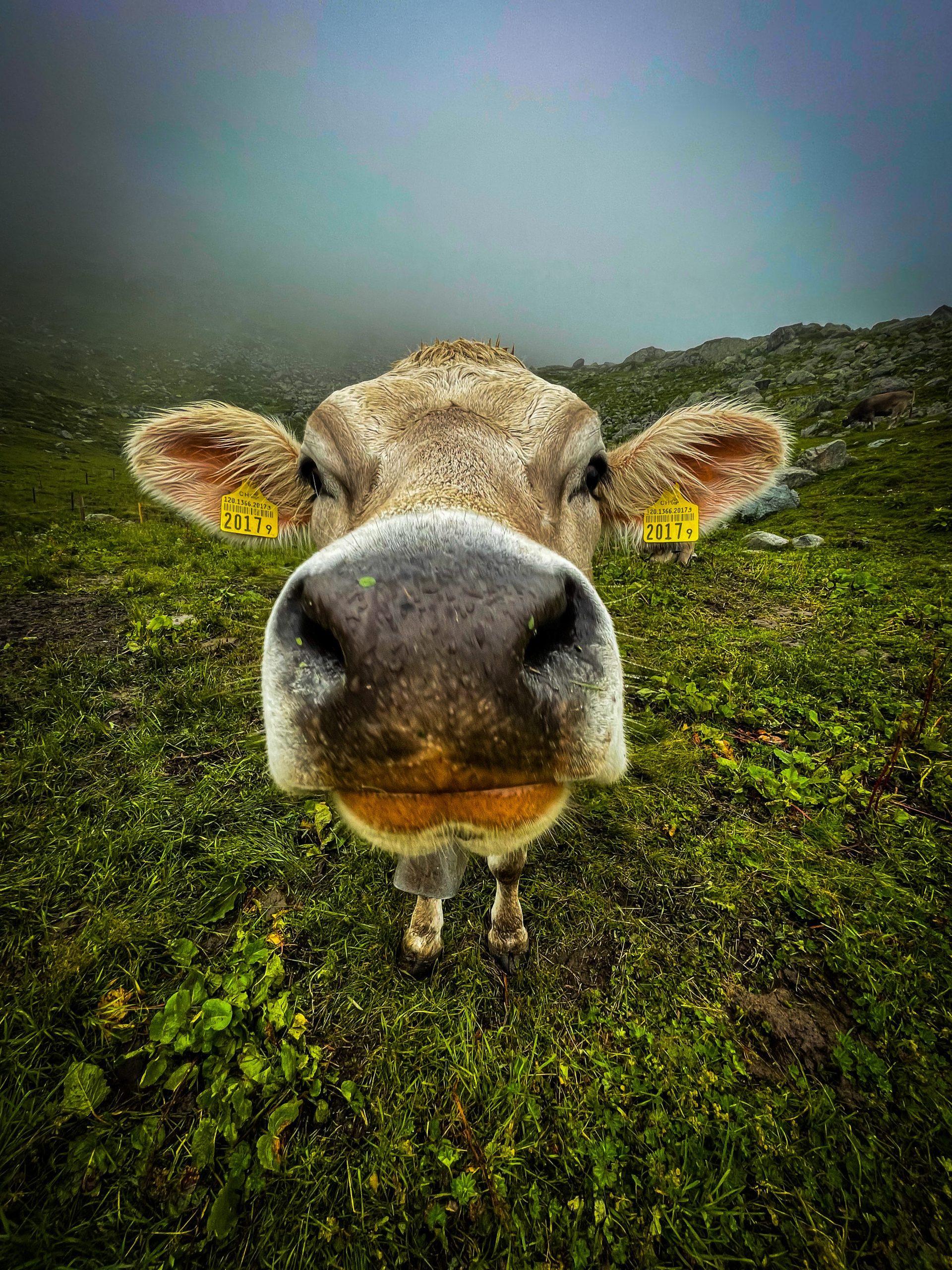 Švajčiarska krava